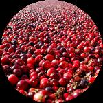 北美蔓越莓